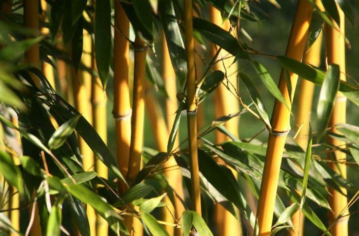 Bambus dicht