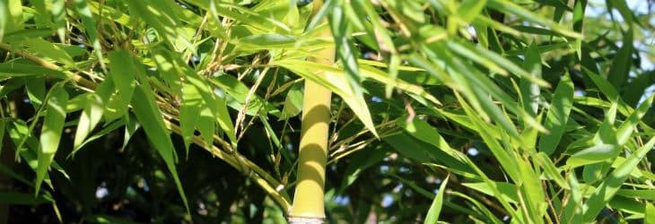 Bambushalm Nahaufnahme