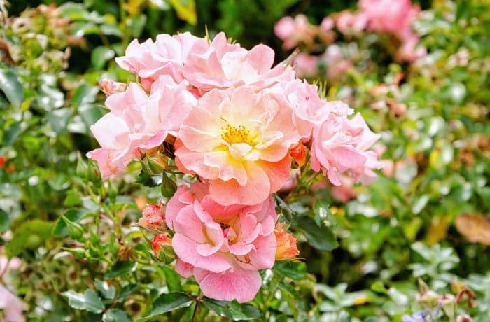 Ungefüllte, rosa Blüten einer Bodendeckerrose