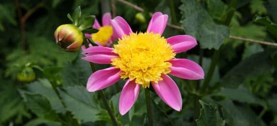 Anemonenblütige Dahlie