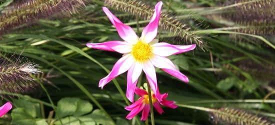 Ungefüllte orchideenblütige Dahlie