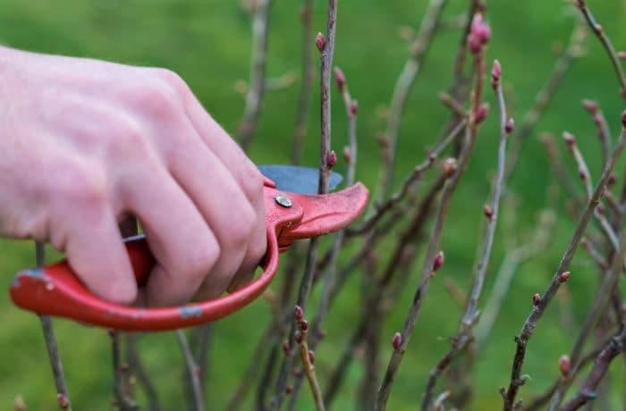 Junge Heckenpflanzen werden mit der Rosenschere geschnitten