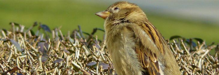 Vogeljunges auf einer Hecke