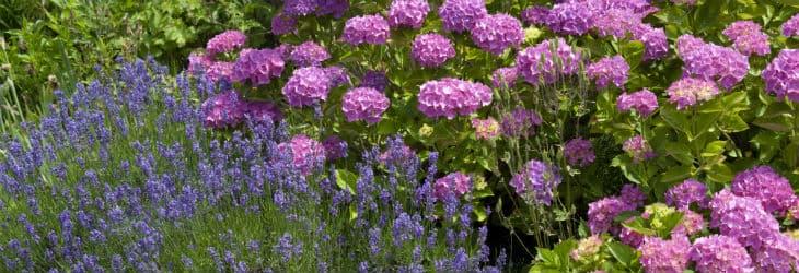 Rosa Hortensien neben Lavendel
