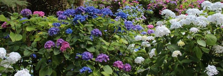 blaue und weiße Gartenhortensien