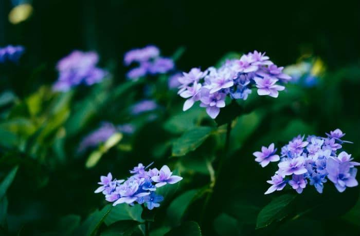 Blüten Tellerhortensie