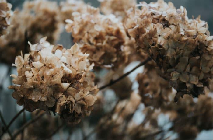 Verblühte Blütenstände Hortensie