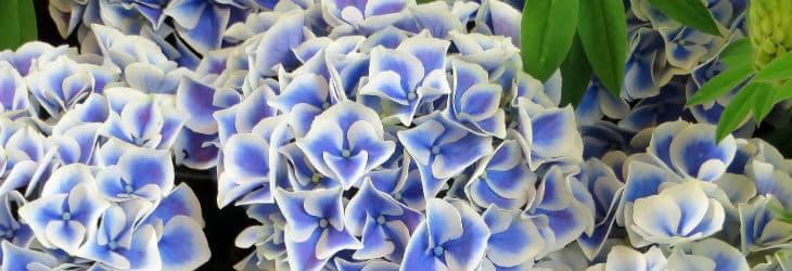 blau-weiße Hortensienblüten