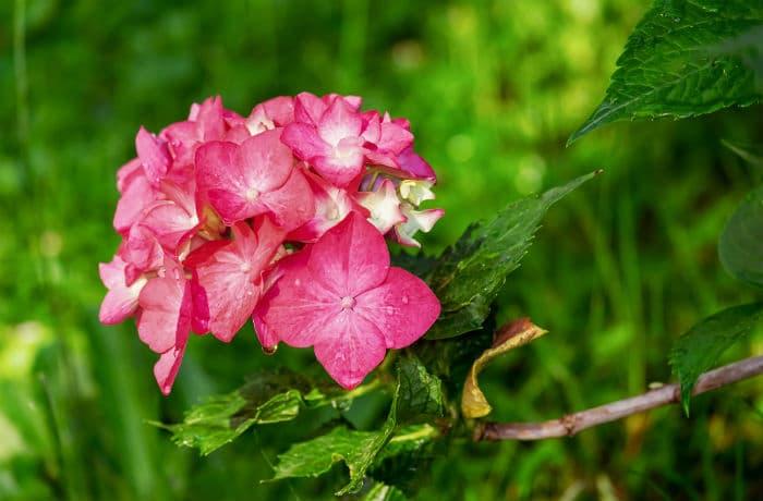 Hortensienblüte pink
