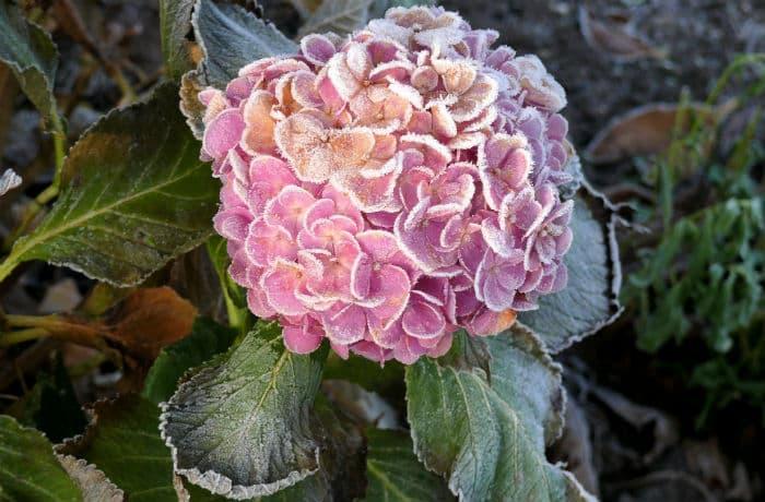 Hortensienblüte mit Raureif