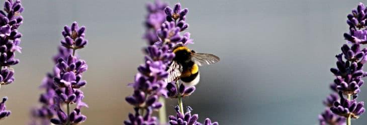 Hummel auf Lavendel-Blüten
