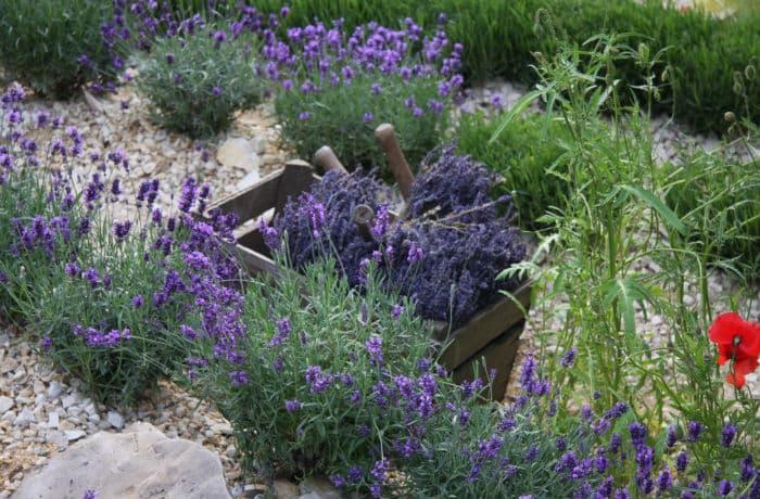 Lavendel in einem Kiesbeet