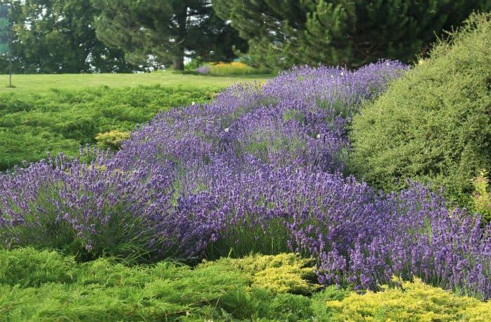 Lavendelpflanzung