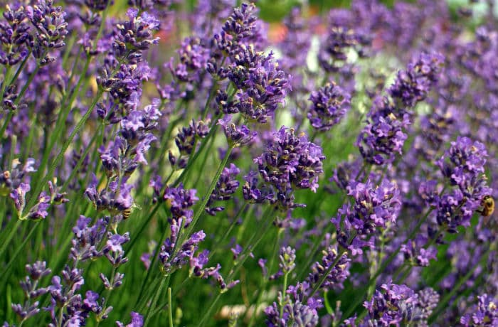 Lavendelblueten