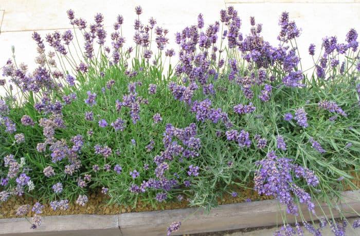 Lavendel in einem Beet