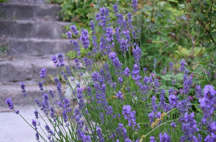 Lavendel wegbegleitend