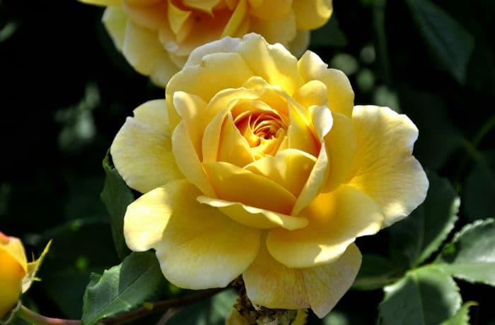 Rosenblüte gelb