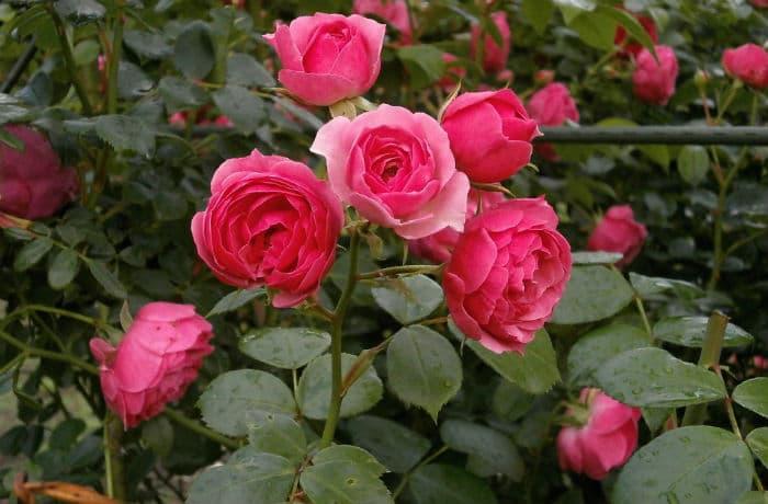 Strauchrosen pink
