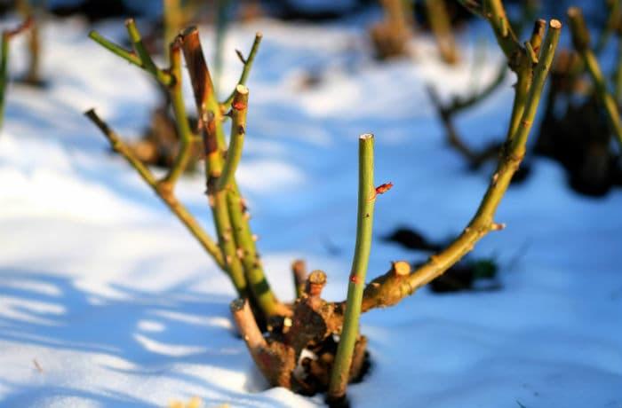 Rosenpflanze zurückgeschnitten im Winter