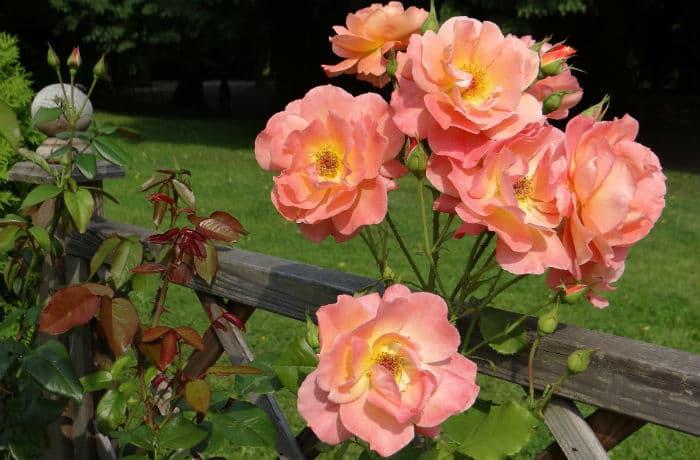 Rosenpflanzung und -pflege