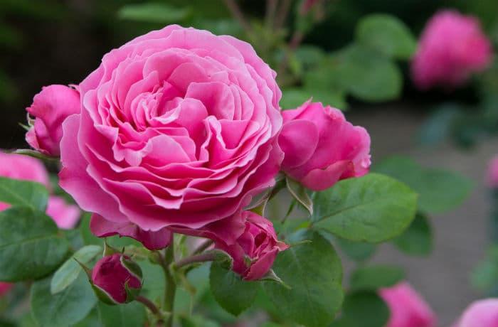Pinke englische Rose