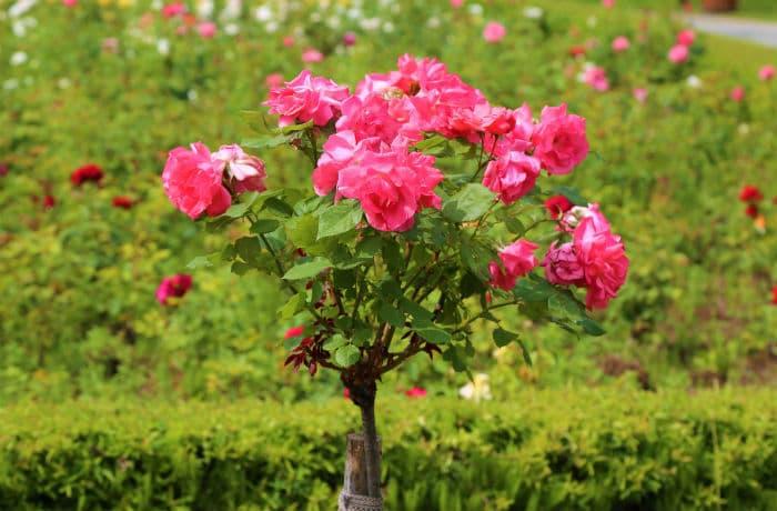 Rosenstämmchen in pink