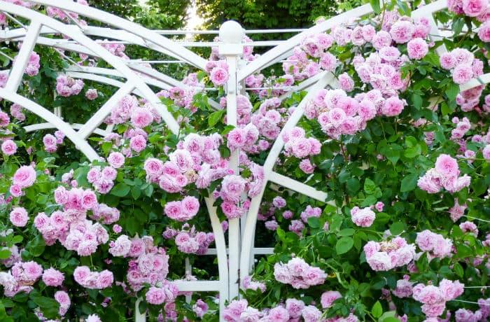 Rosa blühende Kletterrosen an einem weißen Rosenbogen