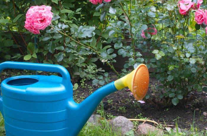 Blaue Gießkanne vor einem Rosenbeet