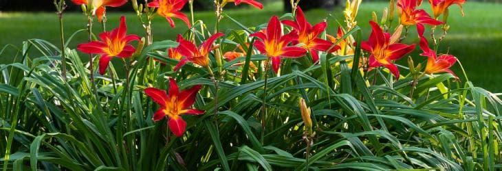 Taglilien mit roten Blüten