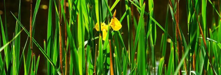 Teichrandbepflanzung