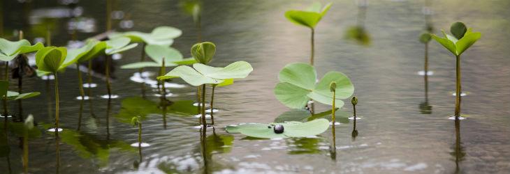 Pflanzen im Teich