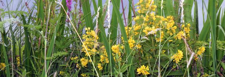 Sumpfpflanzen der Sumpfzone