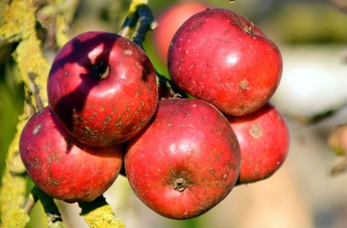Äpfel mit Apfelschorf