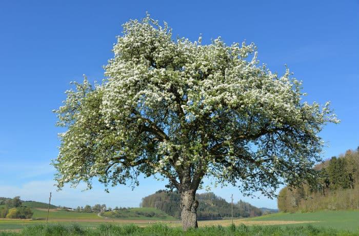 Apfelbaum an sonnigem Standort