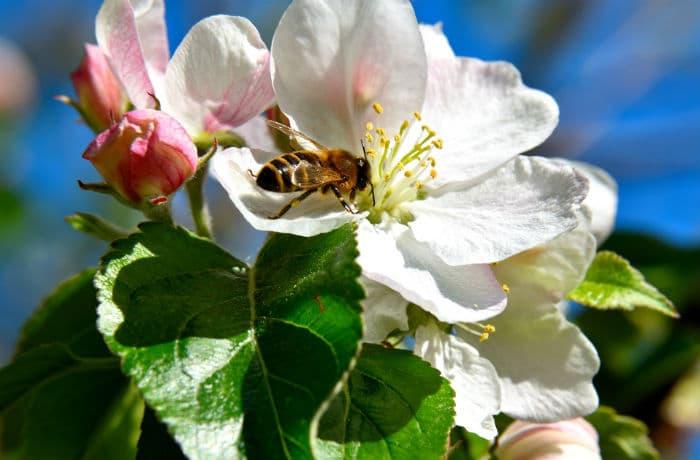Apfelbaum Blüten mit Biene