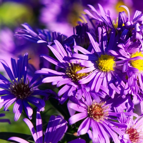Aster in Lila