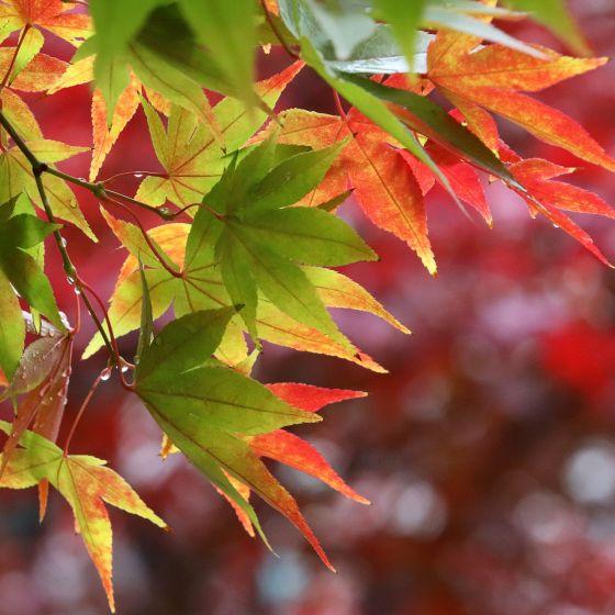 Herbstfarben Amberbaum