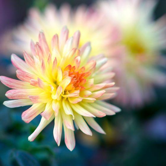 Dahlie rosa gelb