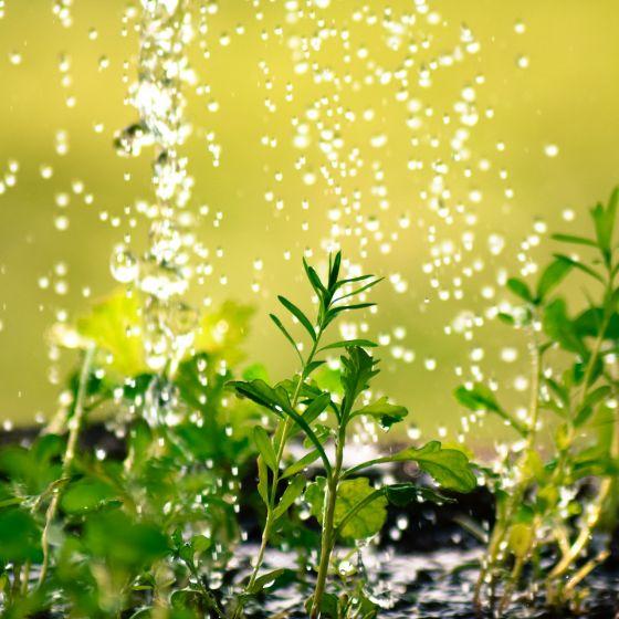 Junge Pflanzen werden gegossen