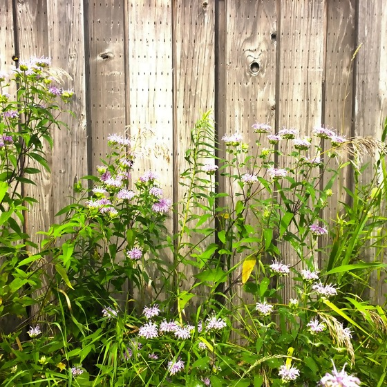 Bretterzaun mit wilden Pflanzen