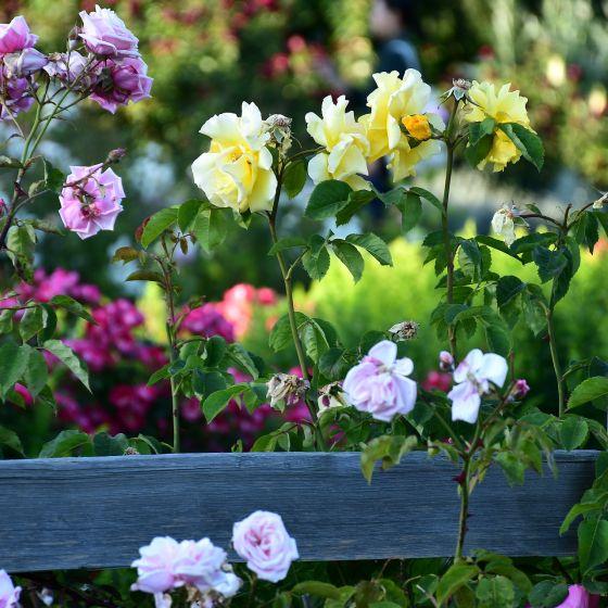 Rosen in gelb und weiß