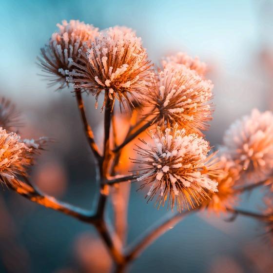 Blütenstände Frost