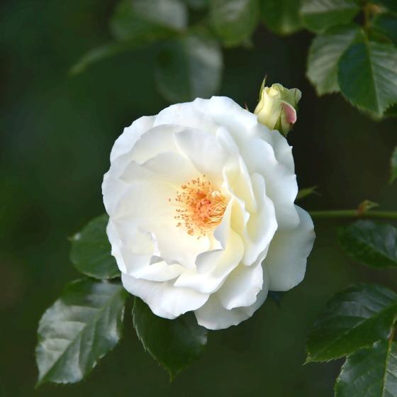 Wildrose weiß
