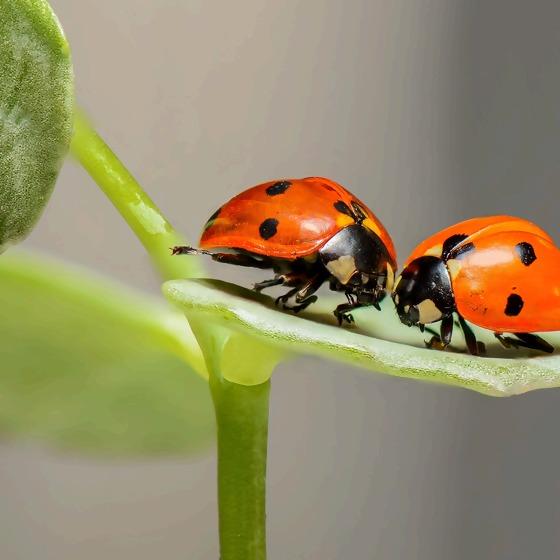 2 Marienkäfer auf einem Blatt