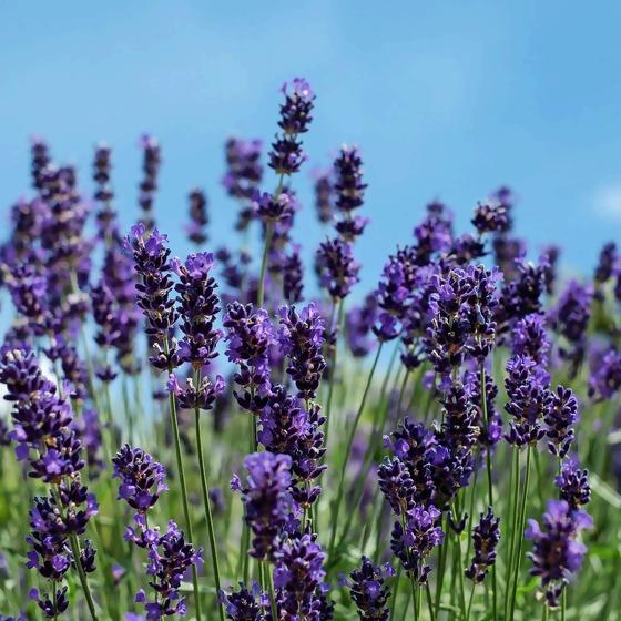 Lavendel vor blauem Himmel
