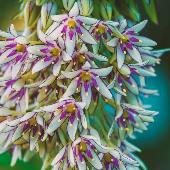 Ananaslilie