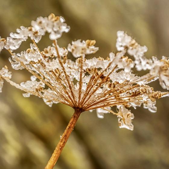 Blütenstand mit Eis