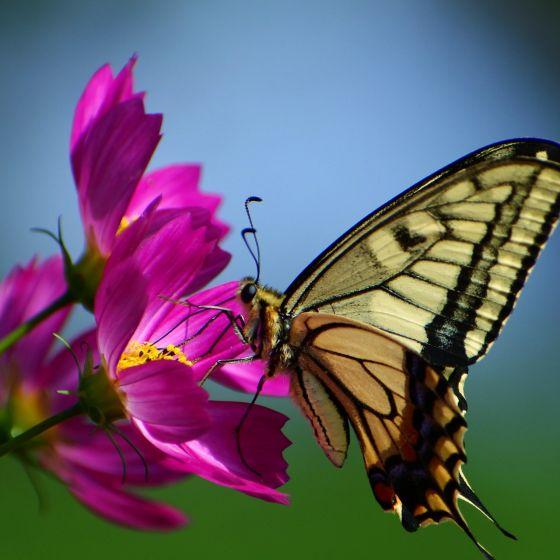 Schwalbenschwanz an pinker Blüte