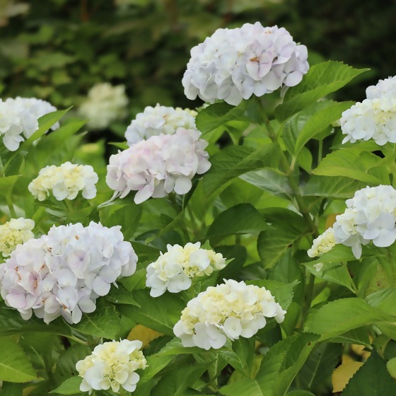 Hortensien weiß