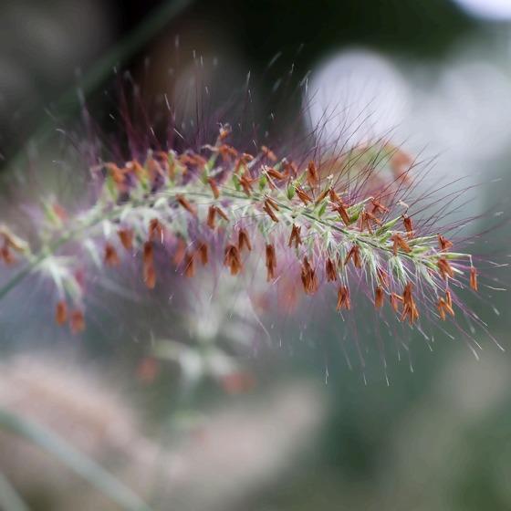 Pennisetum Lampenputzergras